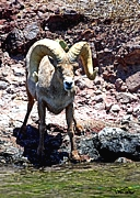 Shop Lake Havasu desert bighorn sheep
